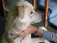 Labrador Retriever - Murphy - Large - Young - Male -