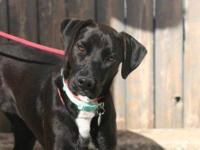 Labrador Retriever - Nala - Medium - Young - Female -