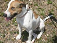 Labrador Retriever - Natasha - Medium - Young - Female
