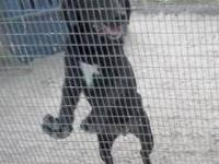 Labrador Retriever - Ned - Medium - Young - Male - Dog
