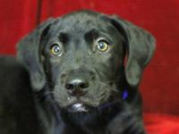 Labrador Retriever - Newton - Medium - Baby - Male -