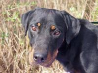 Labrador Retriever - Noel - Large - Young - Female -