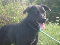 Labrador Retriever - Nova - Medium - Adult - Female -