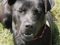 Labrador Retriever - Nyla - Large - Adult - Female -
