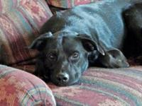 Labrador Retriever - Oakland - Medium - Young - Male -