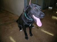 Labrador Retriever - Odin - Medium - Young - Male -
