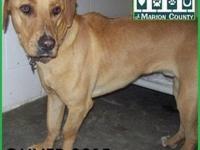 Labrador Retriever - Oliver - Small - Young - Male -