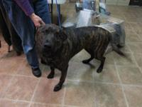 Labrador Retriever - Ollie - Large - Young - Male -