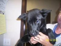 Labrador Retriever - One - Large - Young - Female -