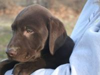 We have some extremely precious AKC Lab young puppies