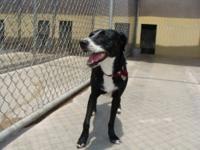 Labrador Retriever - Oreo - Medium - Adult - Female -