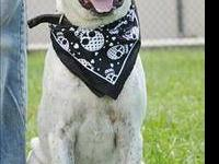 Labrador Retriever - Oreo - Medium - Adult - Female -