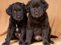 Labrador Retriever - Oscar - Medium - Young - Male -