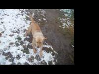 Labrador Retriever - Oz - Medium - Baby - Female - Dog