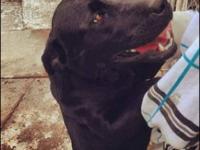 Labrador Retriever - Paisley - Large - Adult - Female -