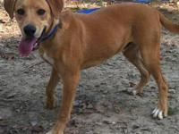 Labrador Retriever - Paul - Large - Young - Male - Dog