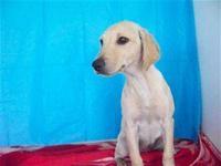 Labrador Retriever - Pecan Sandie - Medium - Young -