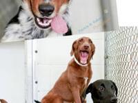Labrador Retriever - Pen 17 Lab Mix 10 Months - Medium