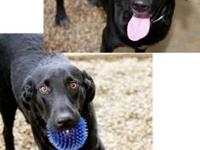 Labrador Retriever - Pen 18 Lab Mix 6 Months - Medium -
