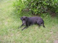 Labrador Retriever - Penny - Medium - Adult - Female -
