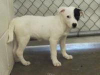 Labrador Retriever - Peppermint - Medium - Baby -