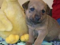 Labrador Retriever - Peyton (puppy 3) - Medium - Baby -