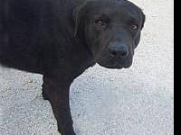 Labrador Retriever - Phillip - Large - Adult - Male -