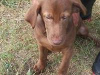 Labrador Retriever - Pilgram - Large - Baby - Female -