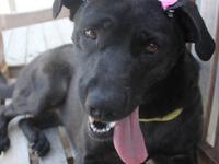 Labrador Retriever - Pippa - Large - Young - Female -