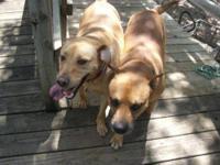 Labrador Retriever - Pj&ledger - Medium - Young - Male
