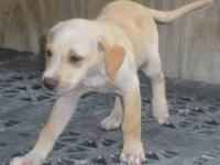 "Labrador Retriever - Potcake Puppies! ""jasper"" - Medium"