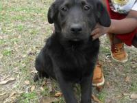 "Labrador Retriever - Potcake Puppy! ""isis"" - Medium -"