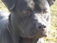 Labrador Retriever - Preston - Medium - Young - Male -