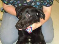 Labrador Retriever - Price-urgent! - Large - Young -