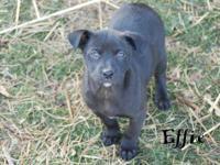 Labrador Retriever - Primrose - Medium - Baby - Female