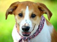 Labrador Retriever - Princeton - Small - Baby - Male -