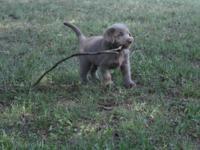 2 silver and one black labrador retriever puppies for