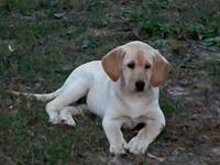 Yellow Lab pups born August 2nd will be 12 weeks on