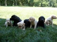 5 week old, sweet Labrador Retrievers!! Litter of seven