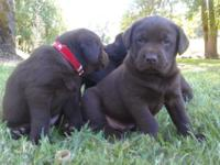 These young puppies are 41/2 weeks aged. We are taking