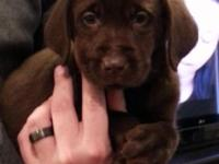 AKC Lab Puppies ... delicious chocolate new puppies are