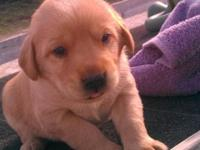 Adorable Lab puppies. These puppies are available just