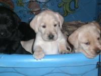 AKC registered black and yellow puppies These are field