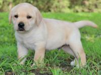 Labrador Retriever Puppies for Sale.I have a male and a
