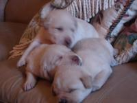 2 males and 1 female yellow labs. Wormed. Shots. Ready