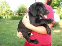 Labrador Retriever - Puppies - Large - Baby - Male -