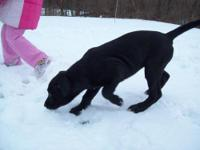 Labrador Retriever - Puppies - Medium - Baby - Female -