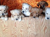 Purebred red fox and yellow lab puppies. AKC, first