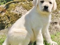 Awesome litter of lab puppies now available, seeking to