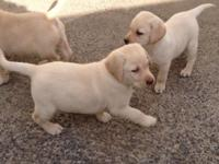 Labrador Retriever puppies available interested person